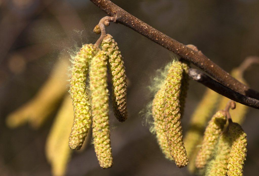 pollen bouleau allergie